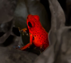 Poison Dart Frog by Jake Richter
