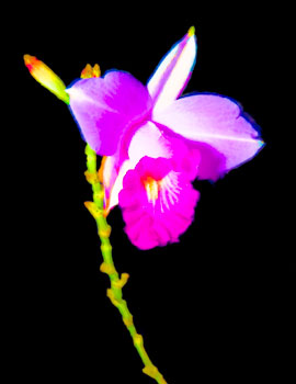 Night Orchid by Jake Richter