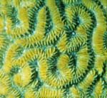 Brain Coral by Jake Richter